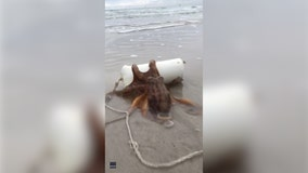 'Extraordinary': Video shows octopus pushing pipe with eggs inside back towards ocean