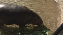 Meet 'Silas' the Houston Zoo's new pygmy hippo