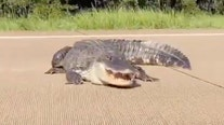 Louisiana family tries to coax 12-foot alligator off of busy highway