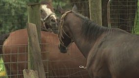 Founder of horse rescue, 14 animals on the verge of being on the street