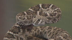 Venomous snake encounters on the rise in the Houston area
