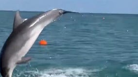Breaching dolphins treat paddleboarders to up-close show