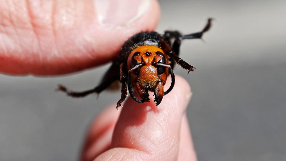 US-SCIENCE-ASIAN HORNETS
