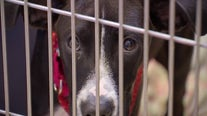 Officials: NJ animal shelter director indicted after 236 cats, 93 dogsprematurely euthanized