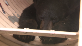 Elusive black bear finally tranquilized and caught in Roxborough