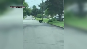 Black bear spotted in Springfield Township