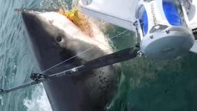 New Jersey fishermen have close encounter with great white shark