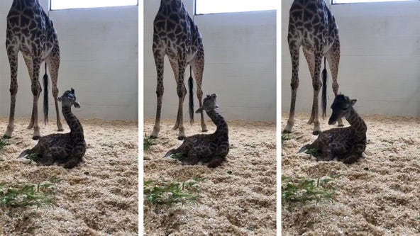 Video: Baby giraffe is so exhausted it can barely keep its head up