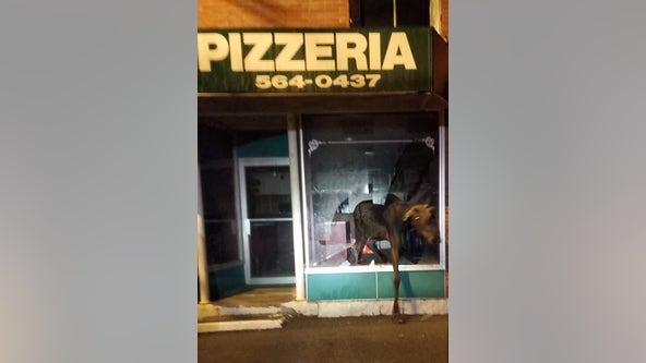 Moose smashes window of Maine pizza shop