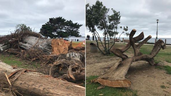 Tree said to have inspired Dr. Seuss' 'The Lorax' removed from park after it suddenly fell