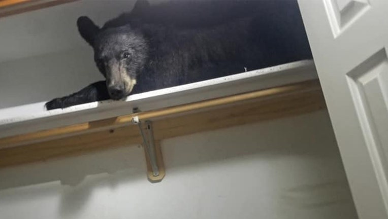 A black bear found indisde a home in Missoula, Montana, June 21, 2019. (Courtesy Missoula County Sheriff's Office)