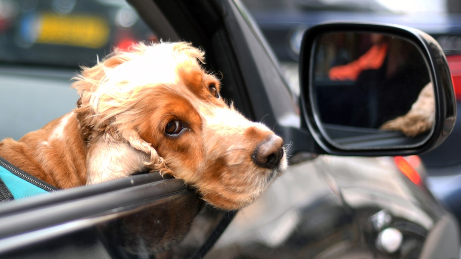 A dog looks out of a car window on May 17, 2019 in Cannes, France. (Photo by Eamonn M. McCormack/Getty Images)