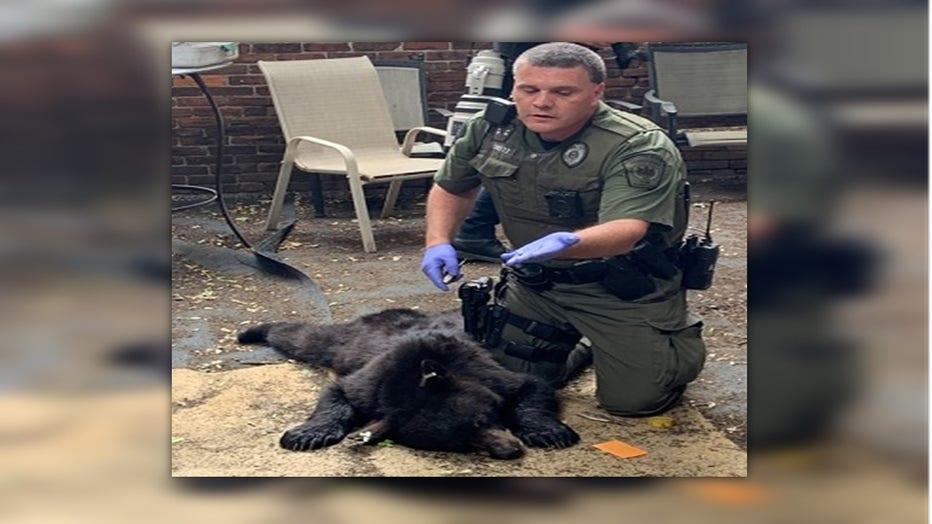 A black bear found in midtown Harrisburg.