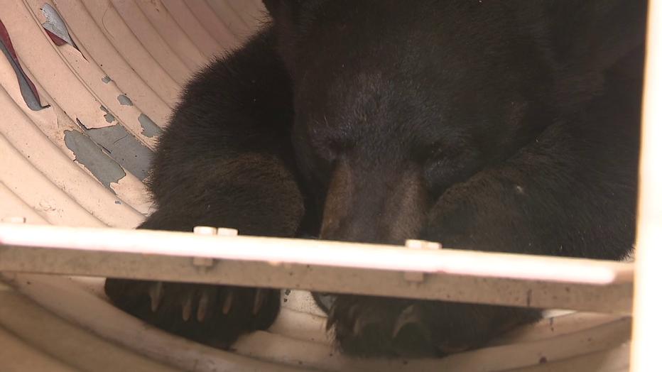 Roxborough black bear