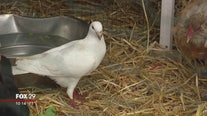 South Jersey family rescues pigeons