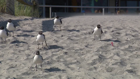 Ocean City mayor urges visitors to stop feeding seagulls