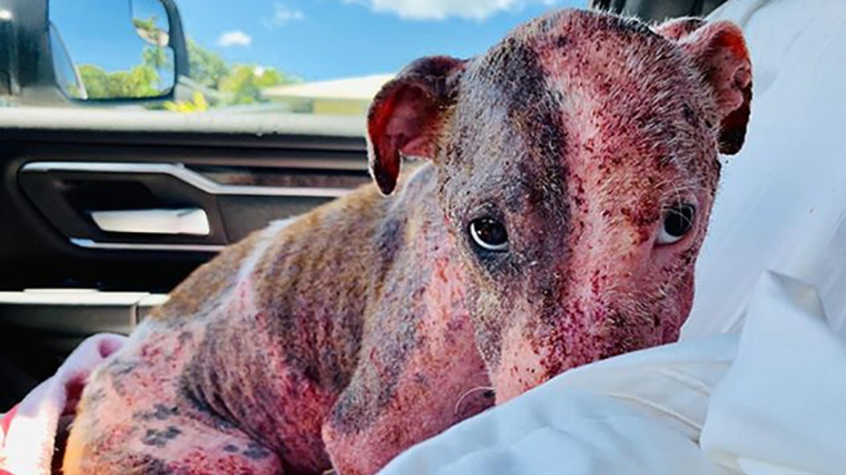 Leialoha, a dog found buried alive in Hawaii, recovering in a foster home.