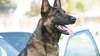 Long Beach police K-9 dies in hot patrol car