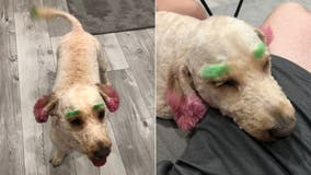 Florida woman claims dog returned from the groomer with neon green eyebrows, pink ears