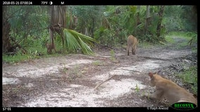 FWC investigates bobcats, panthers experiencing neurological disorder