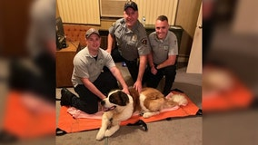EMS team carries 115 pound dog half mile home after her back legs give out on walk
