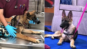 Chained for two months, young Kiwi the German Shepherd continues to heal