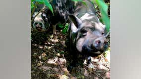 6 pigs found abandoned on Montgomery County highway after severe flooding