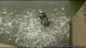 Electrofishing stuns hundreds of carp in mind-boggling video