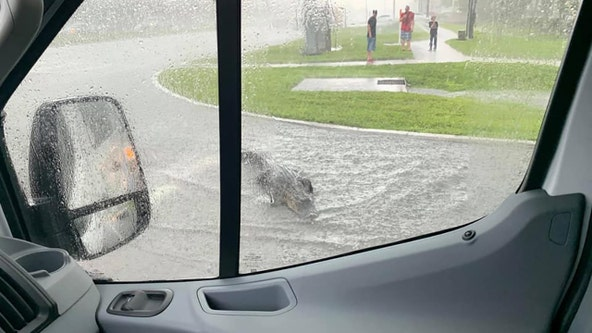 Gator goes for a swim in Pinellas Park traffic