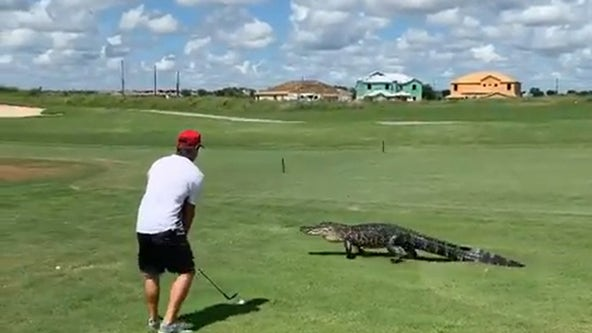 VIDEO: 7-foot alligator walks across green near golfer at Central Florida country club