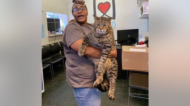 'CHONK': Massive cat looking for forever home at Philadelphia shelter