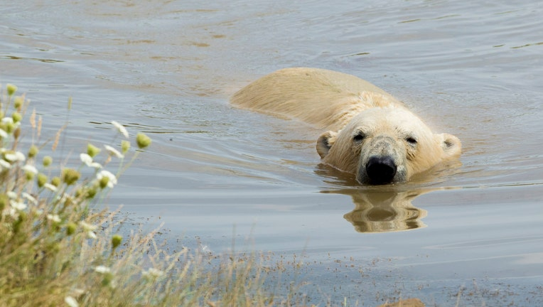 Nobby the polar bear at the Yorkshire Wildlife Park, as the hot weather continues across the UK marking the driest start to a summer since modern records began in 1961.
