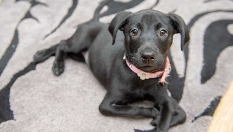 Roo, an eight-week-old Labrador-cross, jumps around on her back paws because she was born with two extra front legs, that cause her a little trouble when she walks. (SWNS)