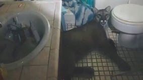 Mountain lion goes inside California house, lies down in bathroom