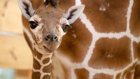 Como Zoo celebrates birth of baby giraffe
