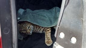 'No one should ever do this:' Colorado driver puts injured bobcat in car next to child