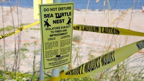 Survey: 8,000 turtle nests washed out by Hurricane Dorian in Florida