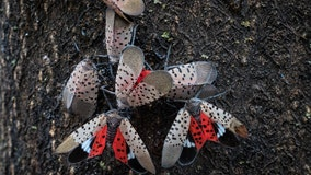 Study: Spotted lanternfly costs Pennsylvania $50M annually