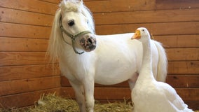 The unlikeliest of friends: Adoptable mini-horse, goose have inseparable bond