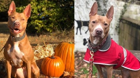 Good dog at shelter for more than 500 days looking for forever home