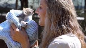 Koala joey makes adorable debut at Australian zoo
