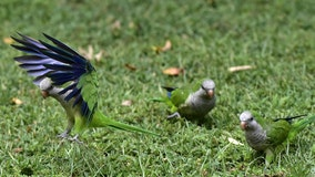 Madrid to cull nearly 12,000 invasive parakeets over threats to environment, public safety
