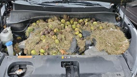 'Absolutely nuts': Squirrels hide more than 200 walnuts under hood of Pennsylvania couple's SUV