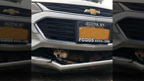 Shiba Inu survives being hit by car, stuck in grille for 45-minute ride
