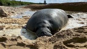 Crews use bulldozer to free large manatee trapped in Georgia sand
