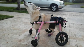 Senior dog with paralysis missing after car stolen with pet inside in South Florida
