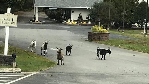 Goats reportedly on the loose in Kennett Township
