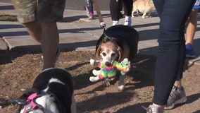 Meet Wolfgang: Overweight beagle on weight loss journey walks a mile to celebrate birthday