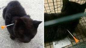 Cat recovering after being shot with blow dart, BB gun in Cumberland County
