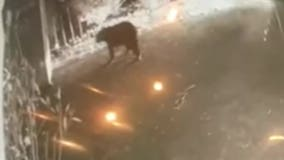 Caught on Camera: Bear spotted in Radnor Township